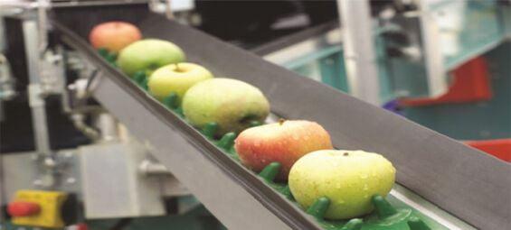 Băng tải hoa quả